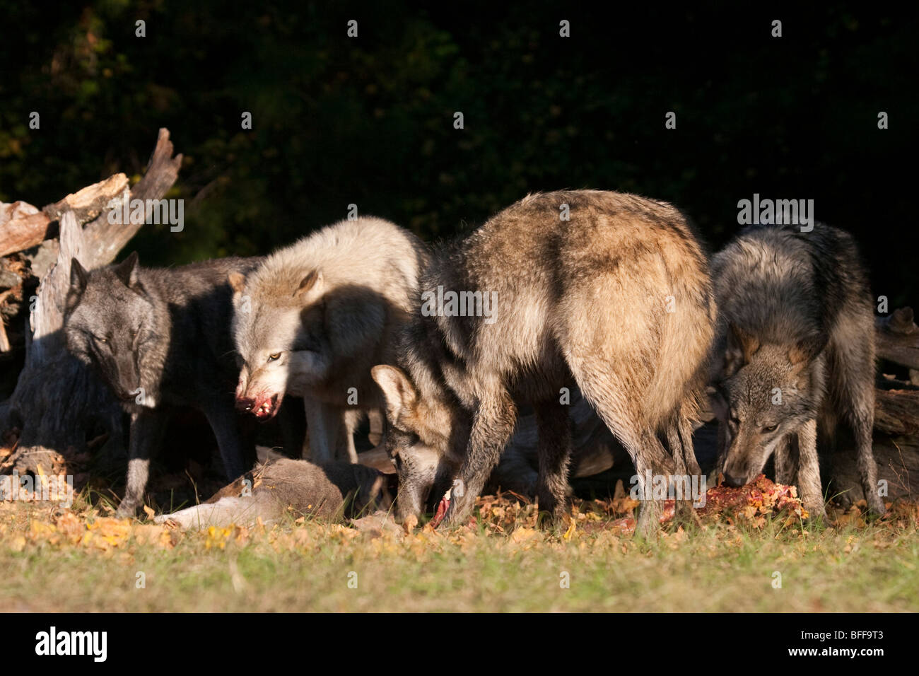 Wolf pack consuming a deer carcass, one wolf snarling at the others. - Stock Image