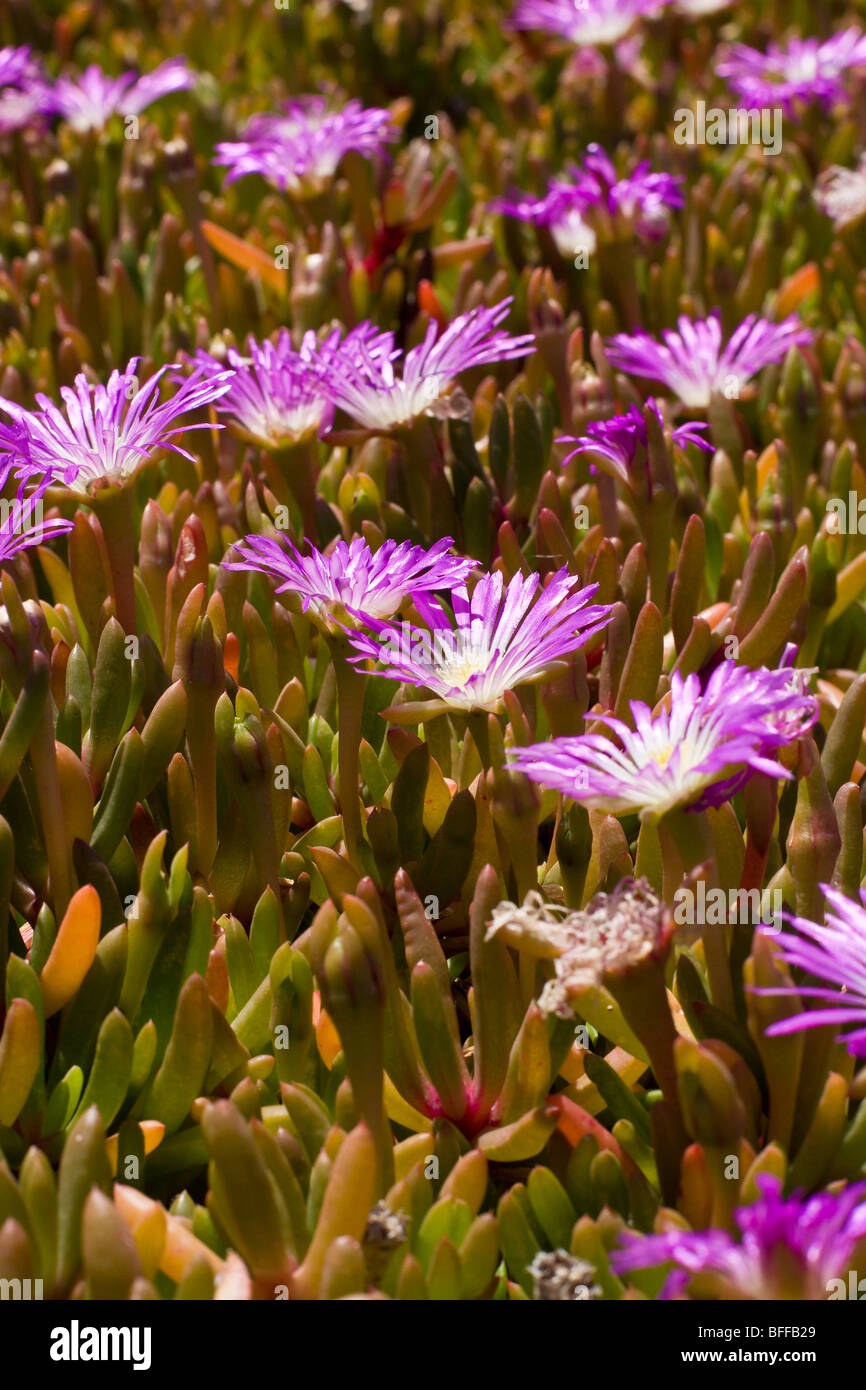 Pink succulents stock photos pink succulents stock images alamy pink flowers and succulents stock image mightylinksfo