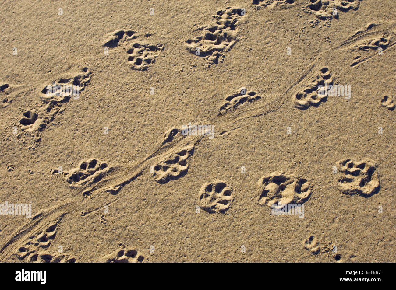 Spoor of cape clawless otter (Aonyx capensis) in sand - Stock Image