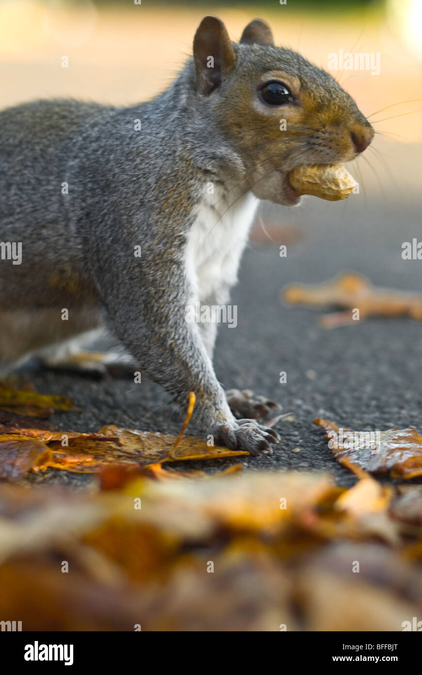 Squirrel in east London feeds on some nuts in autumn - Stock Image