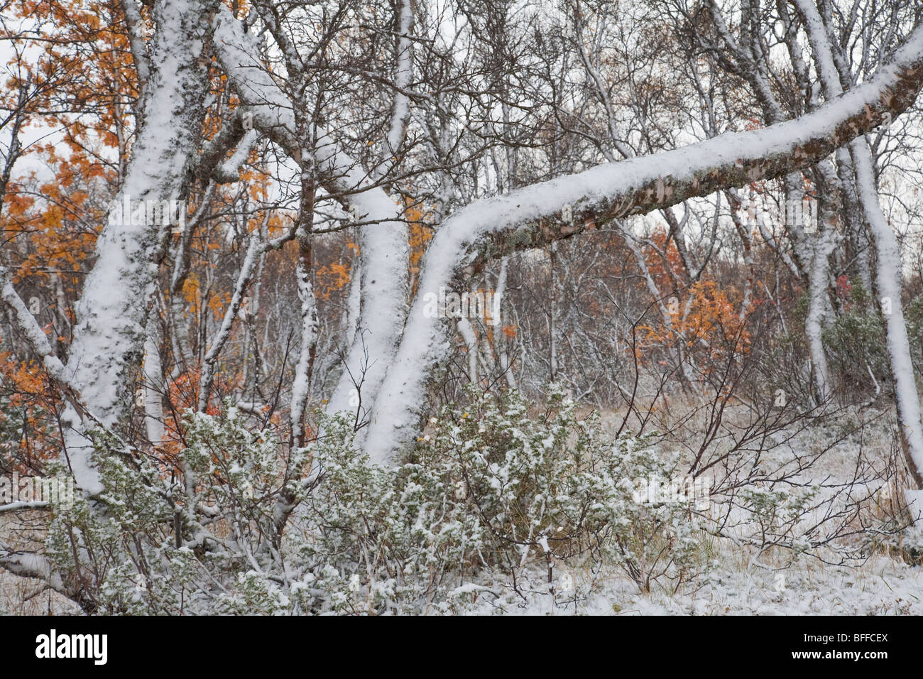 birch forest in autumn with first snow and view over snowy forest - Stock Image