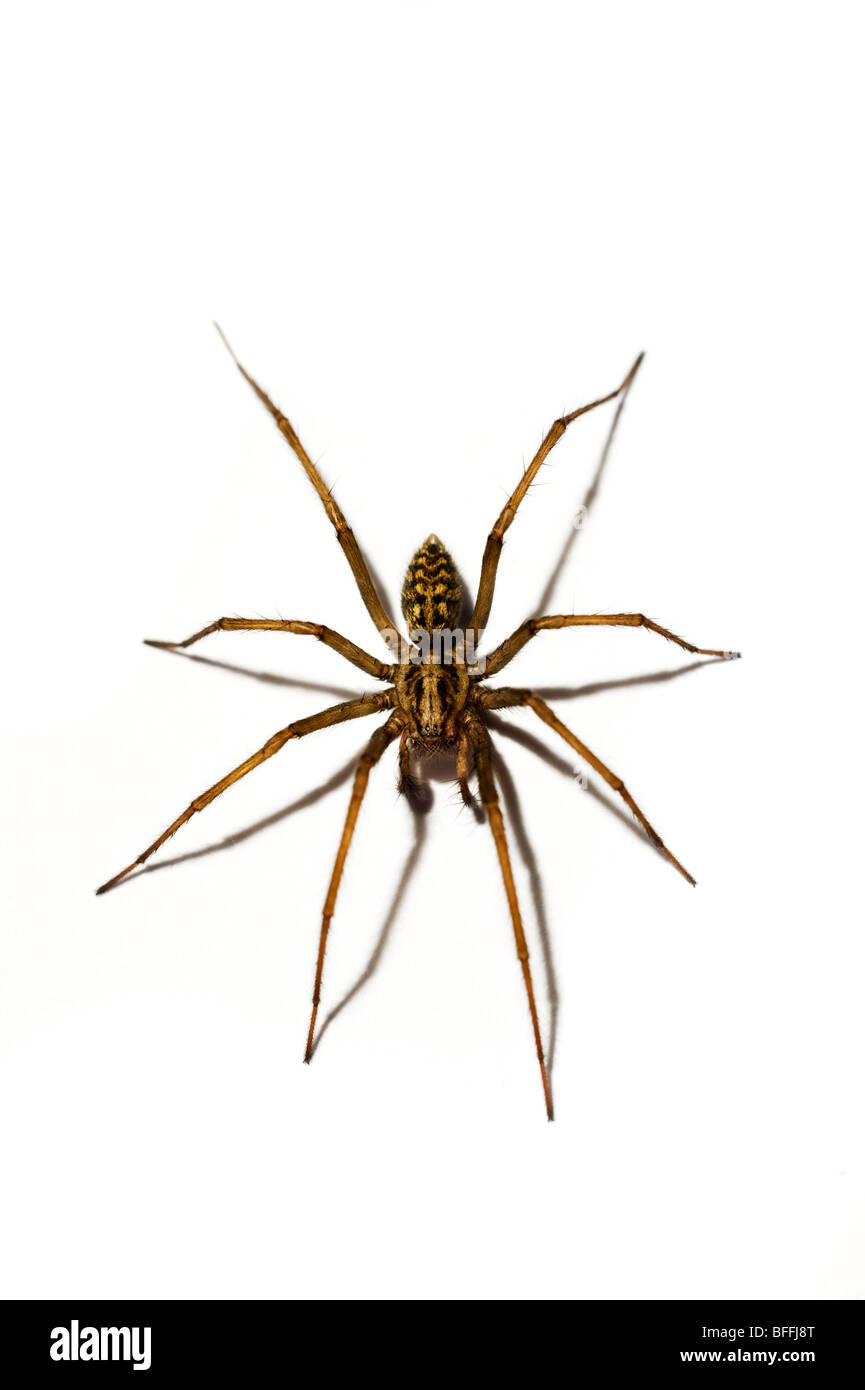 common house spider - Stock Image