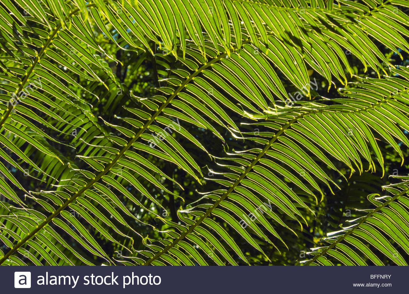 King ferns, Angiopteris evecta, Atherton Tableland, Queensland, Australia - Stock Image