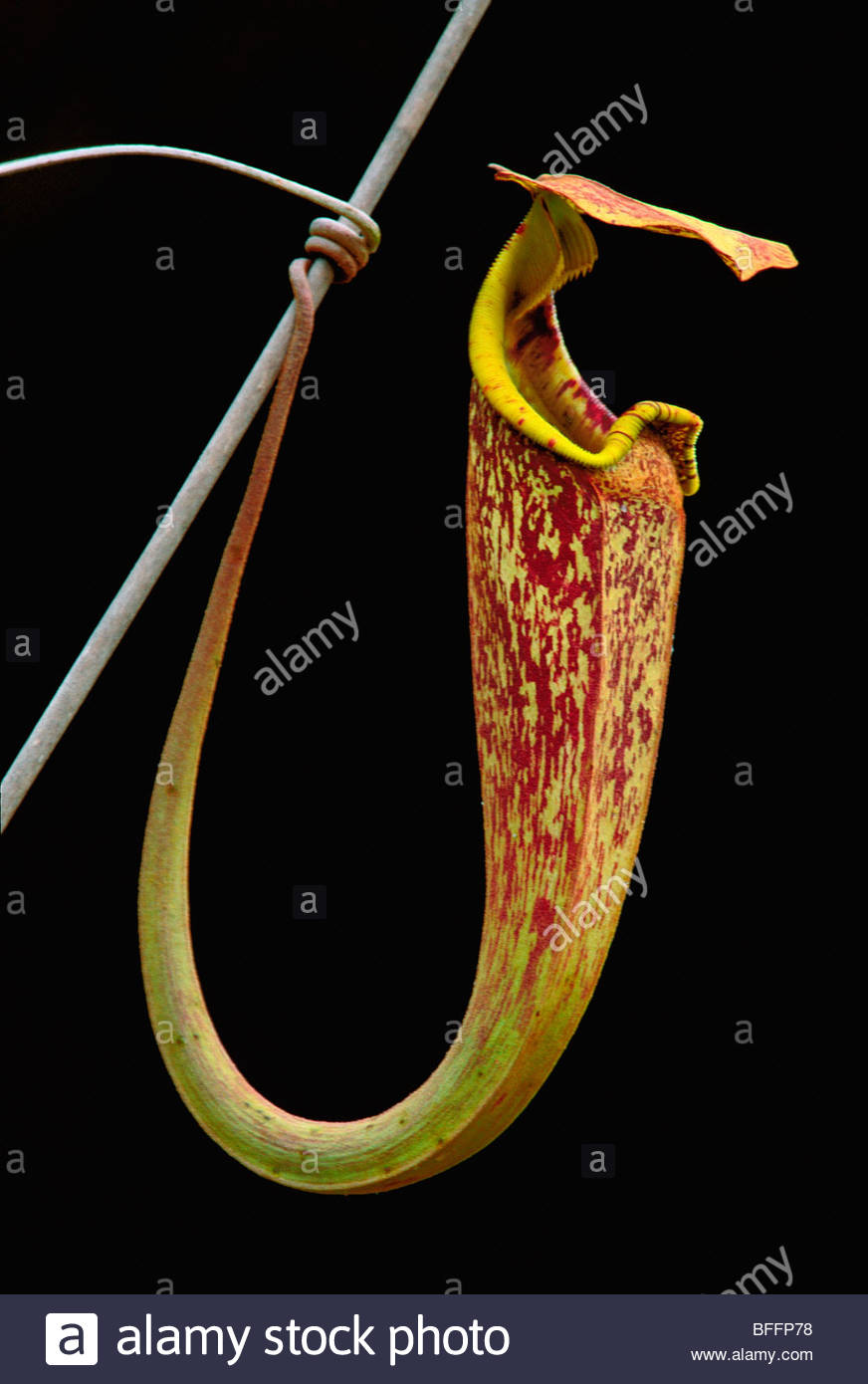 Pitcher plant, Nepenthes stenophylla, Bako National Park, Sarawak, Borneo - Stock Image