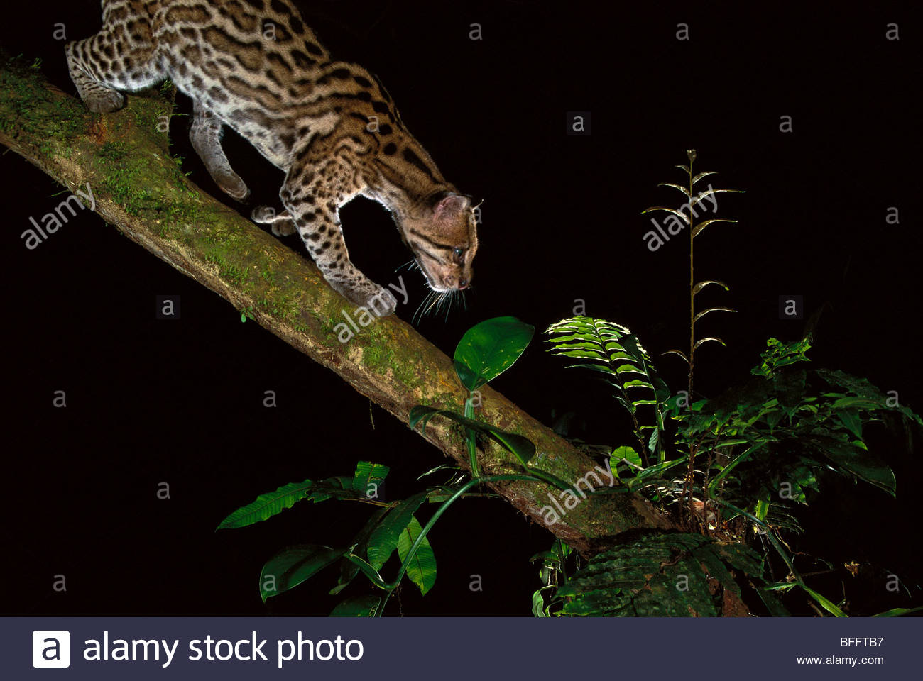 Ocelot caught by camera trap, Leopardus pardalis, Tambopata National Reserve, Peru - Stock Image