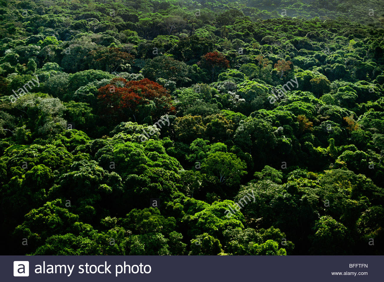 Flowering trees, Democratic Republic of Congo - Stock Image