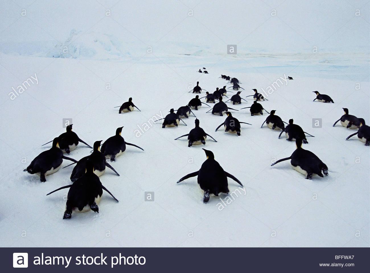 Emperor penguins tobogganing, Aptenodytes forsteri, Weddell Sea, Antarctica - Stock Image