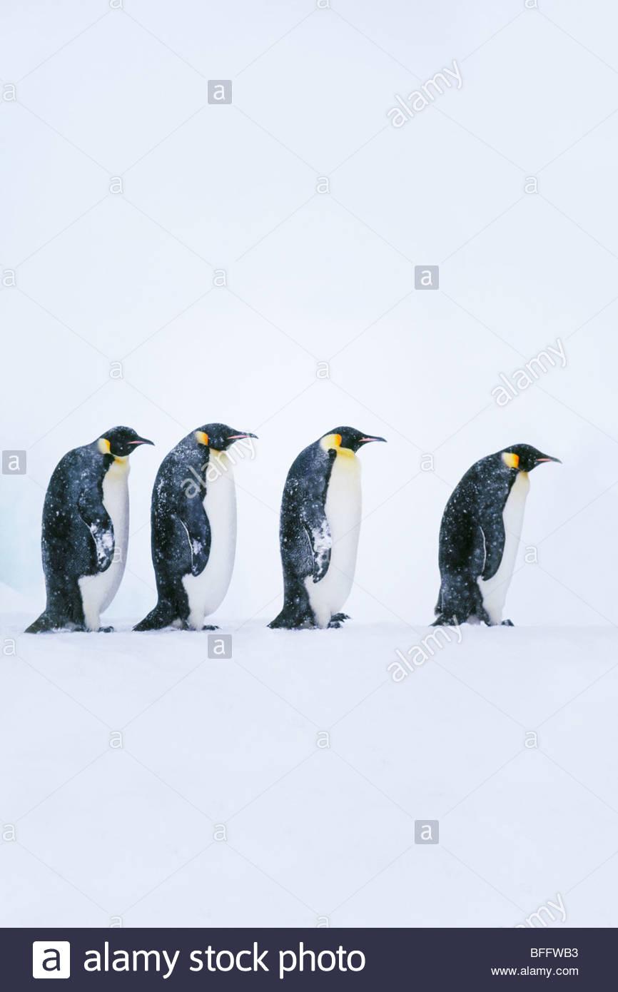 Emperor penguins walking, Aptenodytes forsteri, Weddell Sea, Antarctica - Stock Image