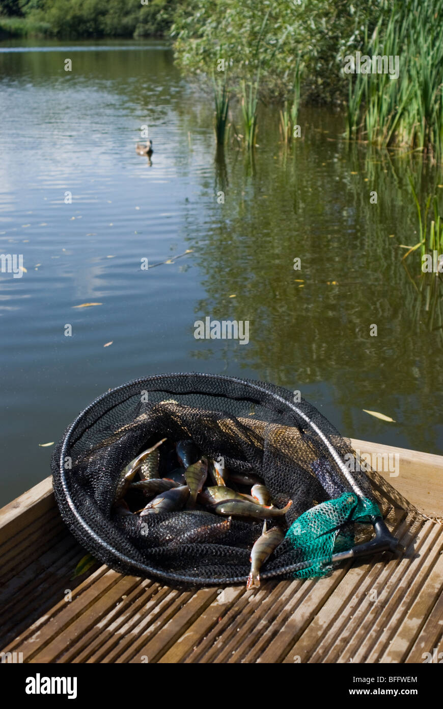 A landing net containing small perch caught from a lake - Stock Image