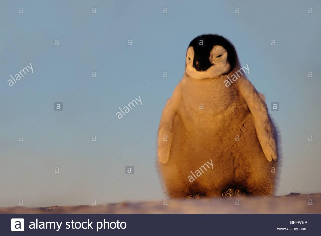 Emperor penguin chick, Aptenodytes forsteri, Antarctica - Stock Image