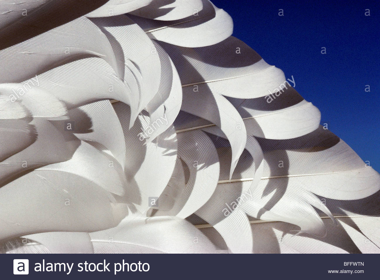 Snow goose wing feathers, Chen caerulescens, California - Stock Image