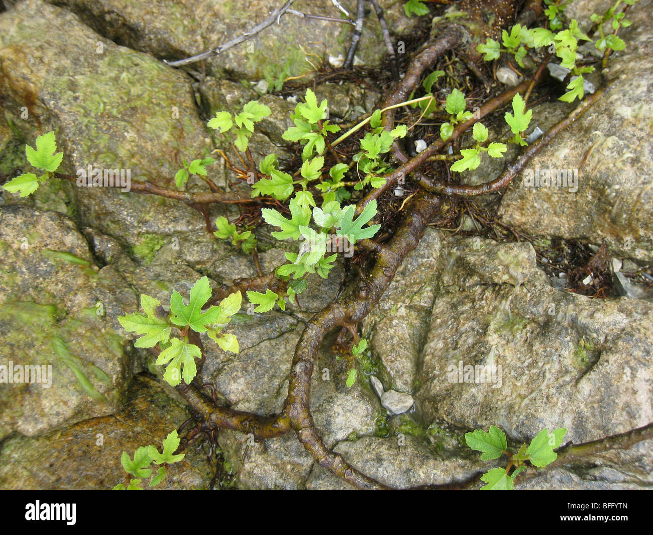 Small fig leaves on wild fig tree at water edge on Lake Garda Italy with their fresh green colour showing up against - Stock Image