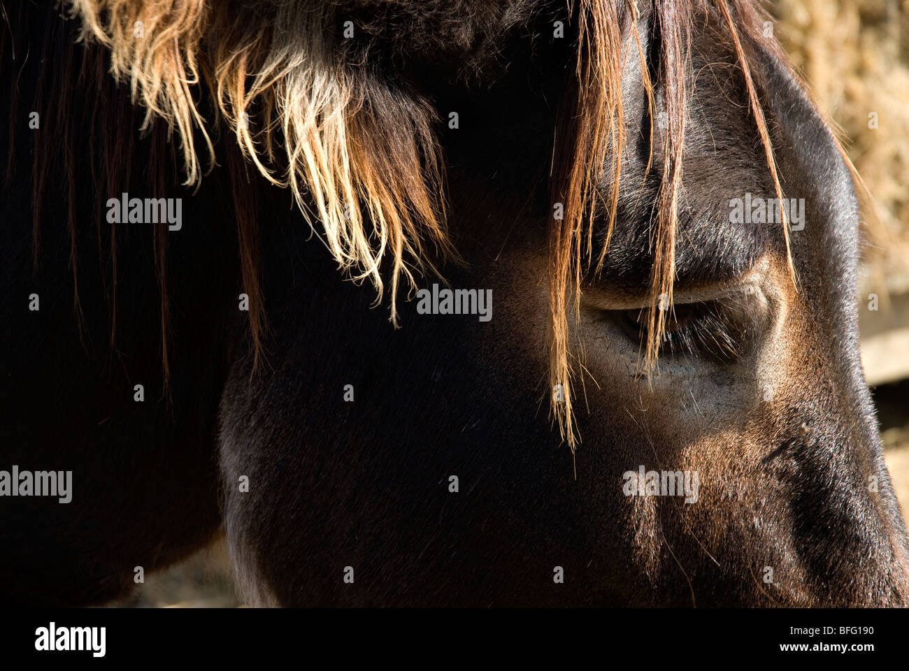 donkey stallion head Stock Photo