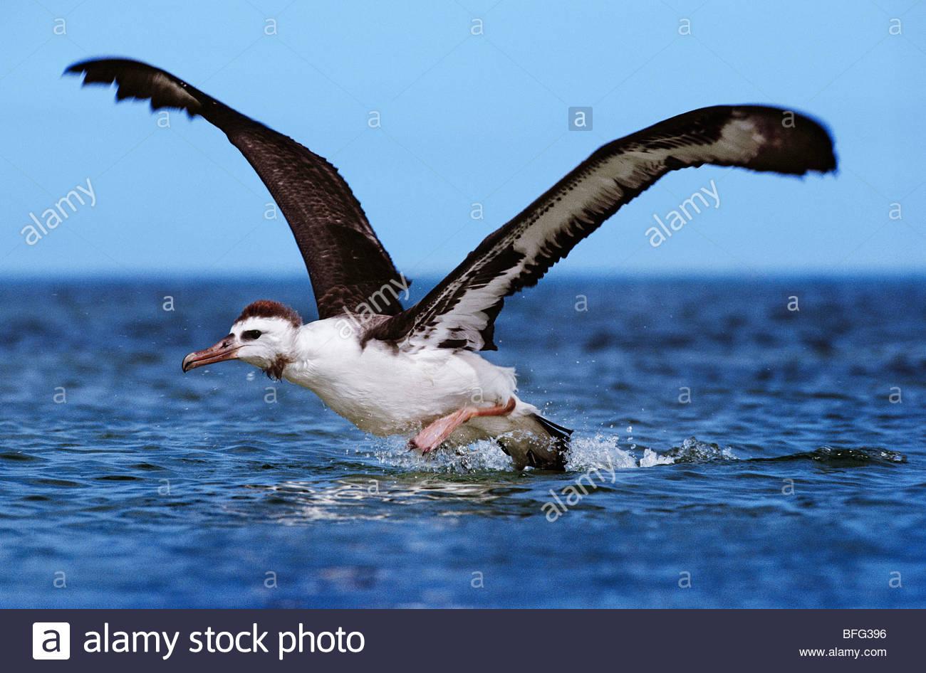 Laysan albatross juvenile taking off from water, Phoebastria immutabilis, Hawaiian Leeward Islands - Stock Image