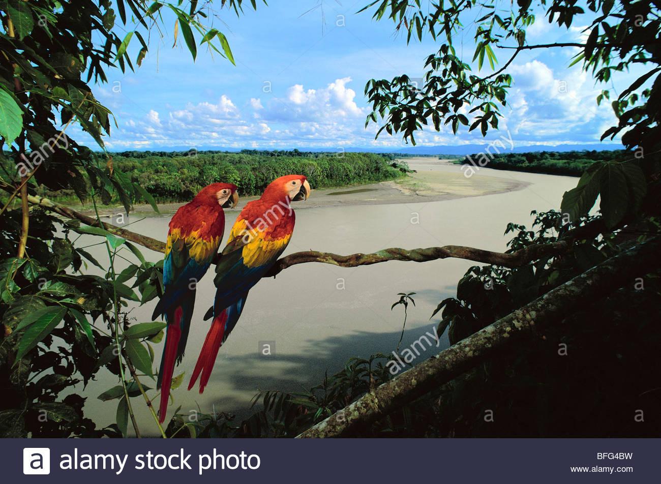 Scarlet macaws overlooking Tambopata River, Ara macao, Tambopata National Reserve, Peru - Stock Image