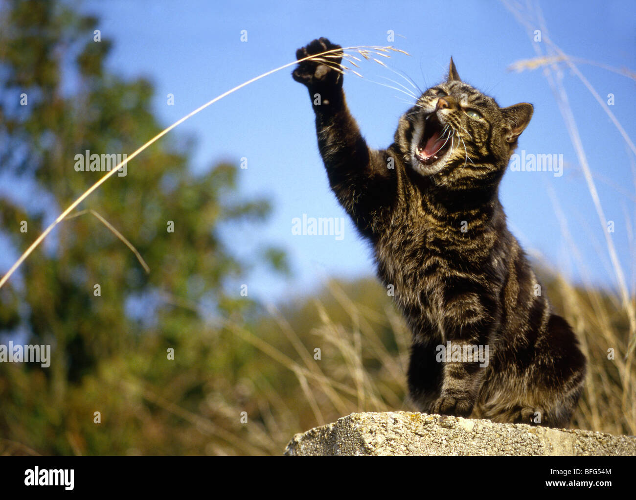 tabby cat, striking at a piece of grass Stock Photo
