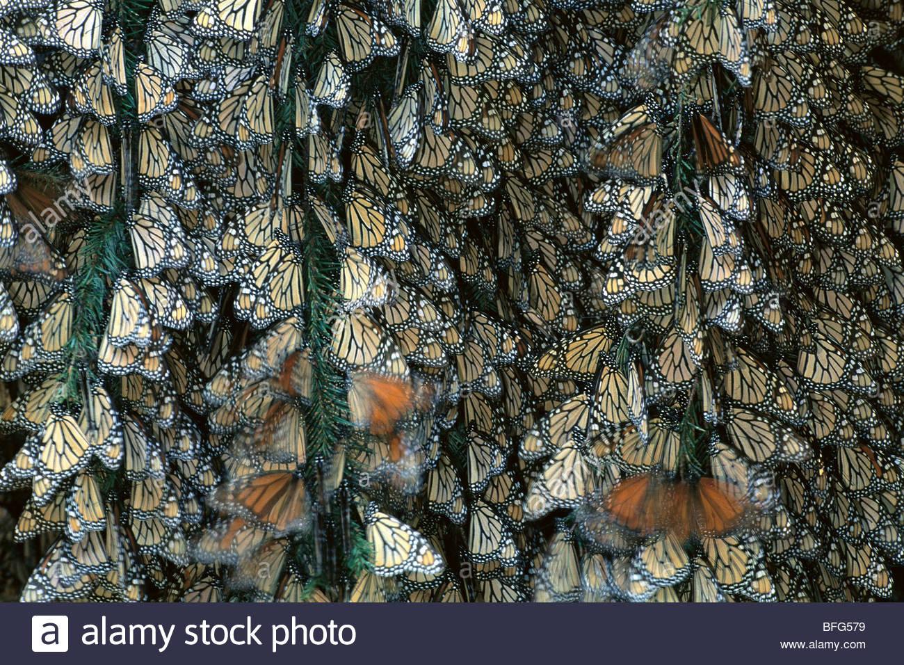 Monarch butterfly colony, Danaus plexippus, Michoacan, Mexico - Stock Image