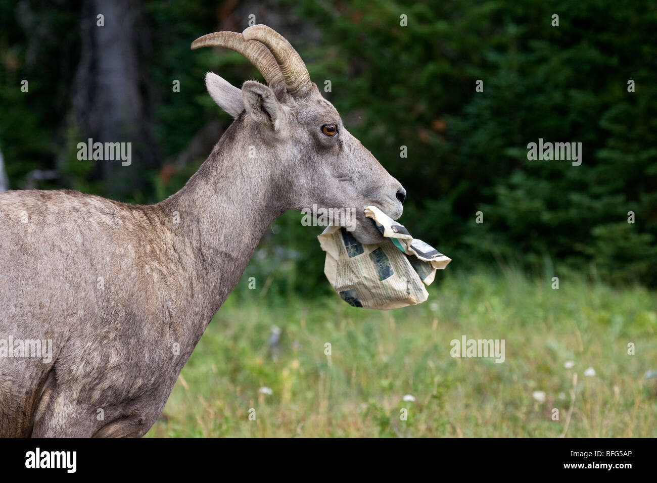Bighorn sheep (Ovis canadensis) ewe eating discarded newspaper Red Rock Canyon parking lot Waterton Lakes National - Stock Image