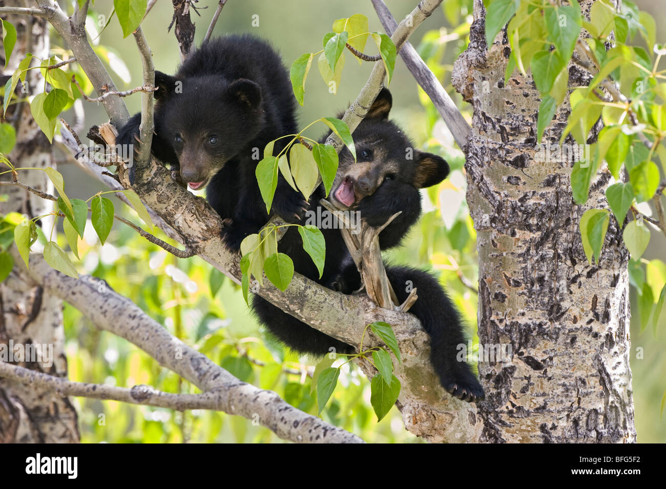 Black bear cubs (Ursus americanus) in tree (Populus sp.) Jasper National Park Alberta Canada. female bear sent her - Stock Image