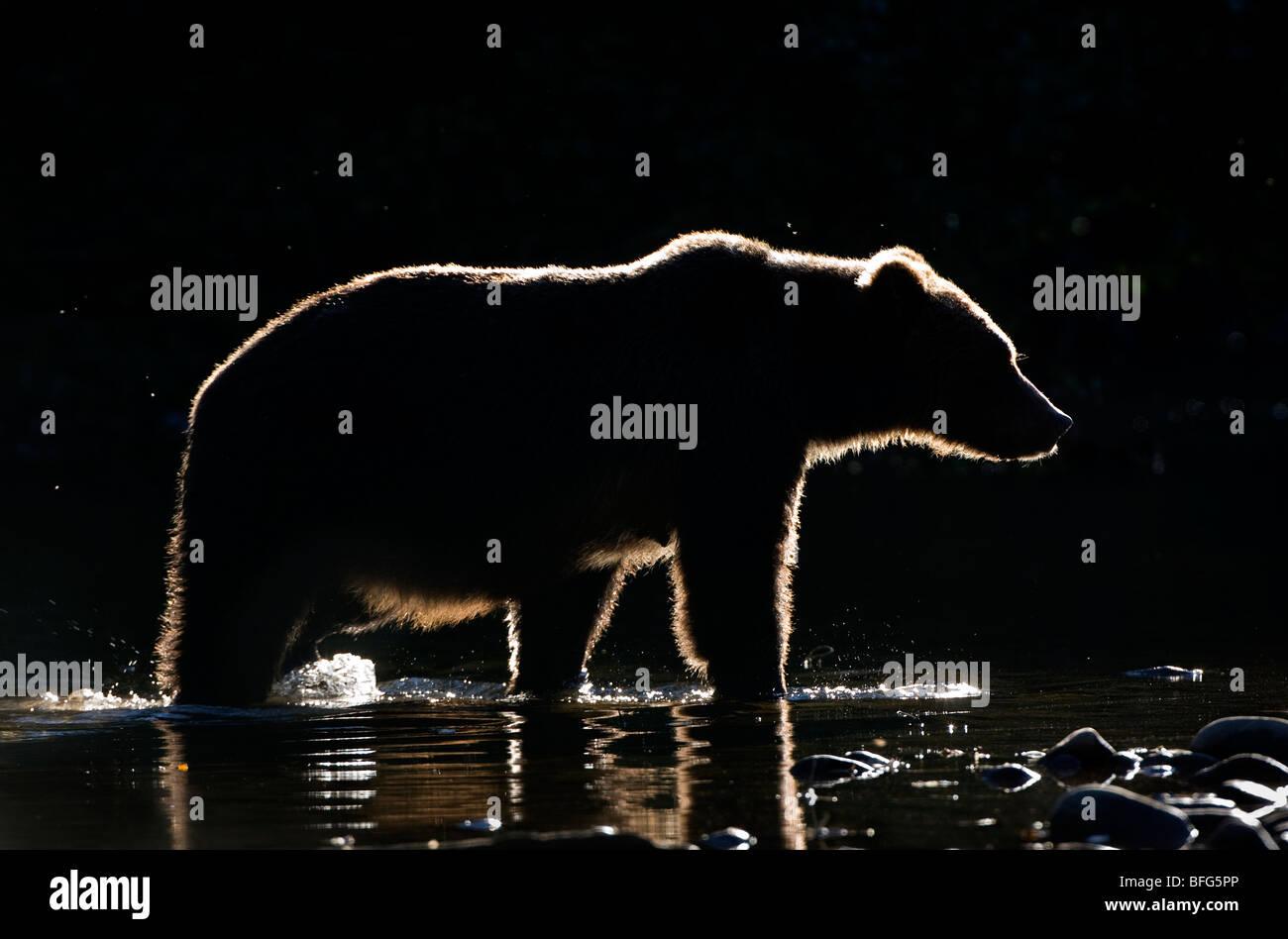 Backlit grizzly bear (Ursus arctos horribilis), female, coastal British Columbia, Canada. - Stock Image