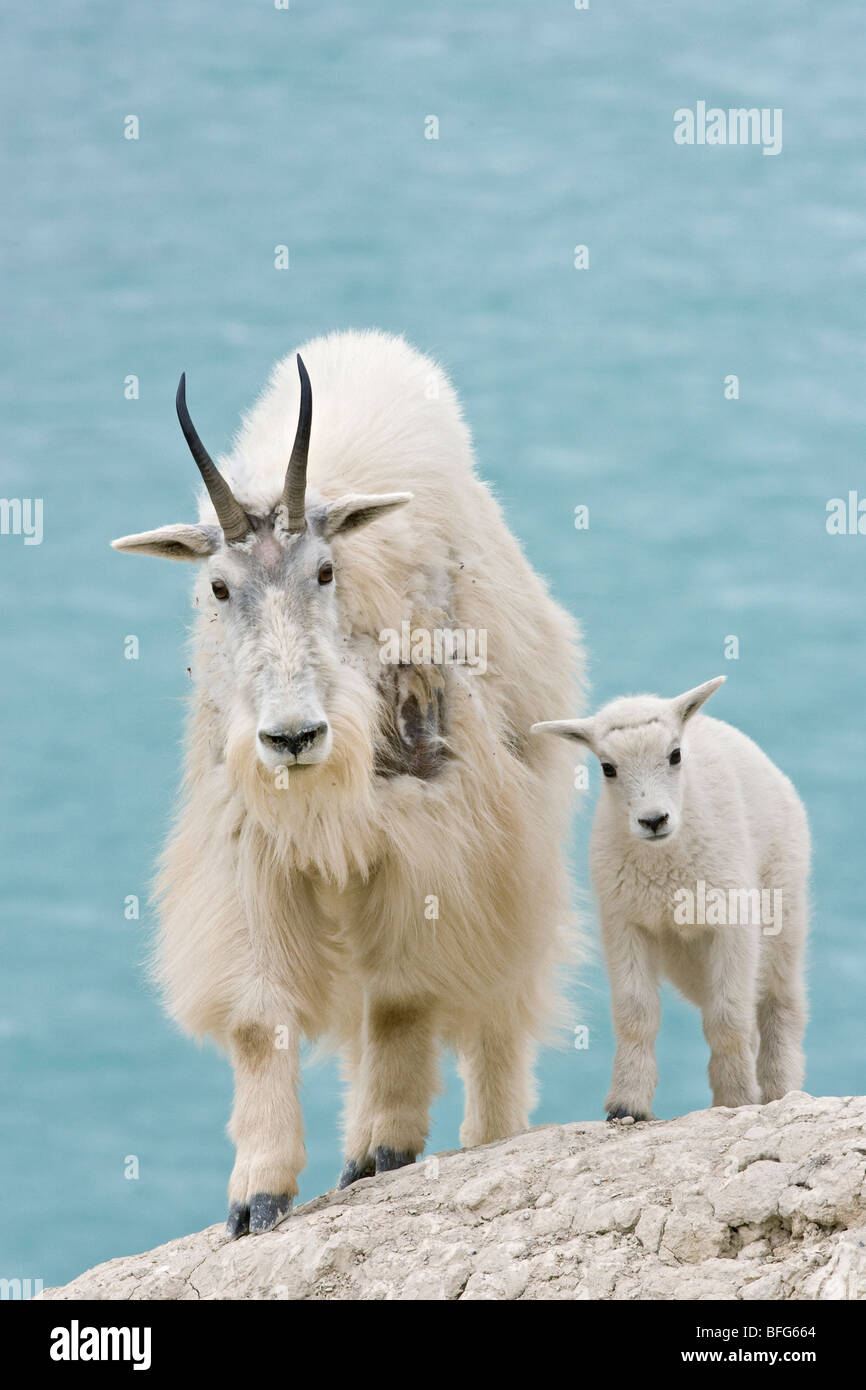 Mountain goat (Oreamnos americanus) nanny and kid overlooking Athabasca River Jasper National Park Alberta Canada.The Stock Photo