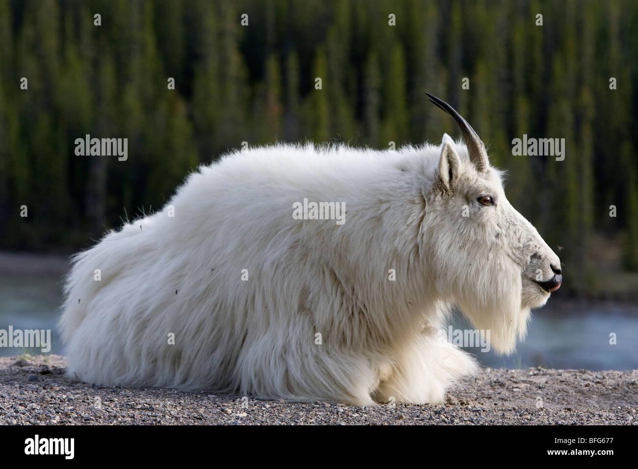 Mountain goat (Oreamnos americanus), licking nose, Jasper National Park, Alberta, Canada. - Stock Image