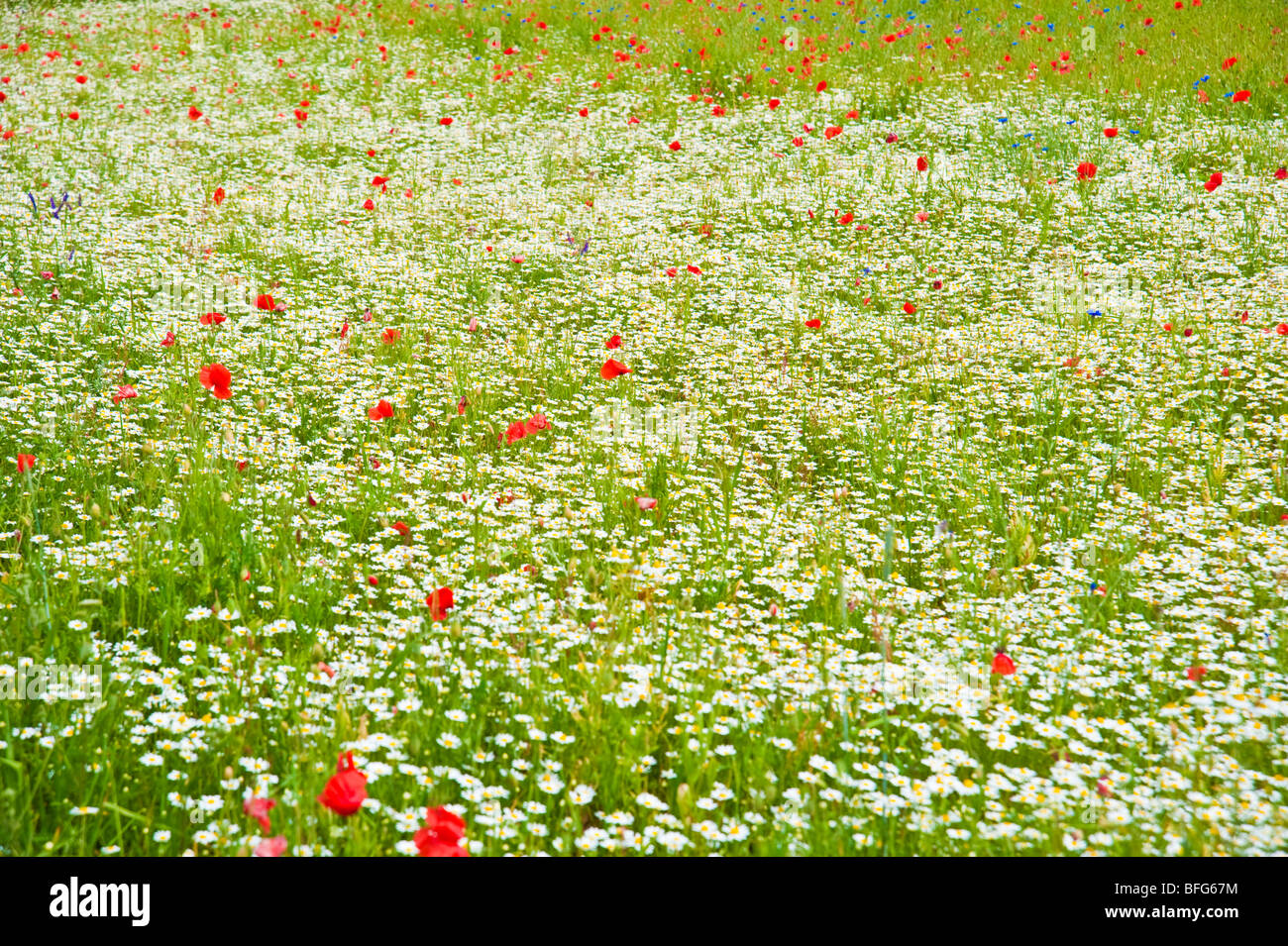 Meadow With Colorful Flowers Like Poppies And Marguerites Wiese