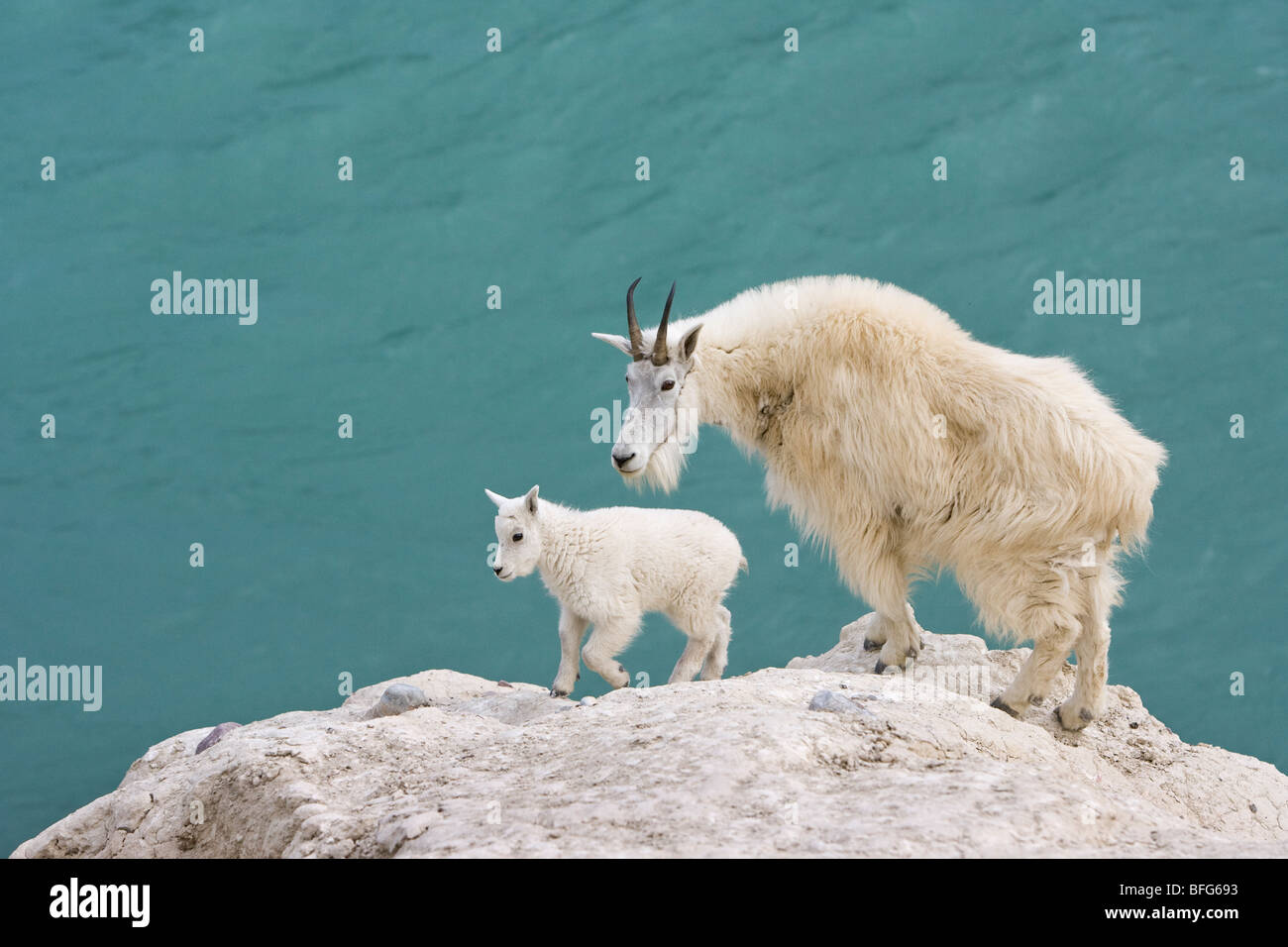 Mountain goat (Oreamnos americanus), nanny and kid, overlooking the Athabasca River, Jasper National Park, Alberta, Stock Photo