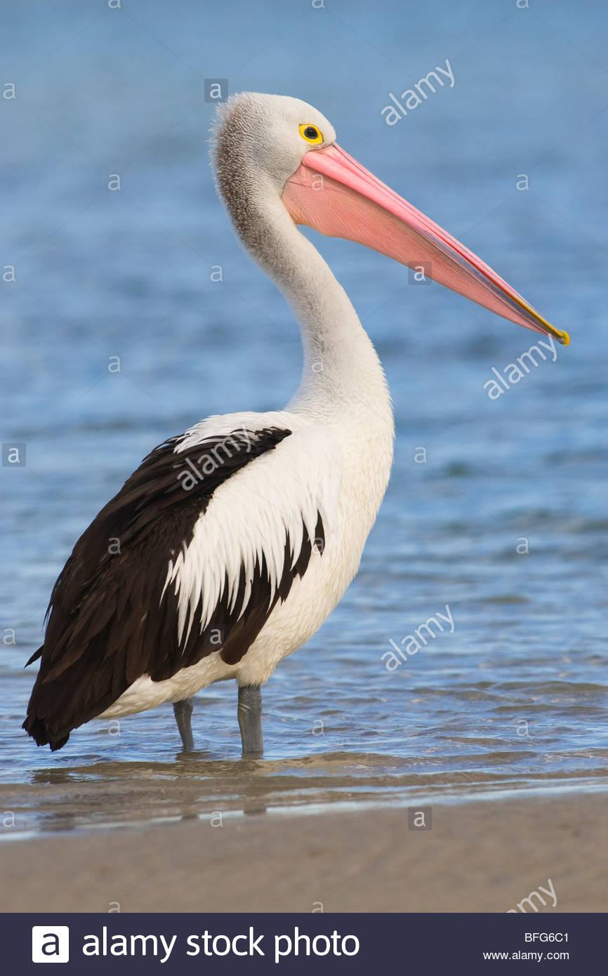 Australian pelican, Pelecanus conspicillatus, Western Australia - Stock Image