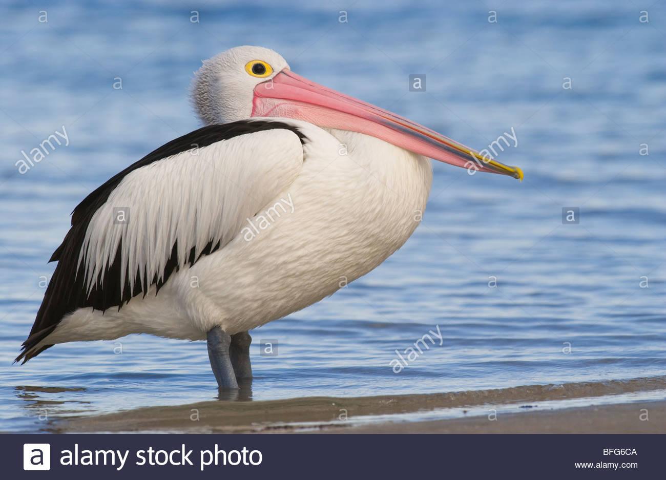 Australian pelican at tideline, Pelecanus conspicillatus, Western Australia - Stock Image