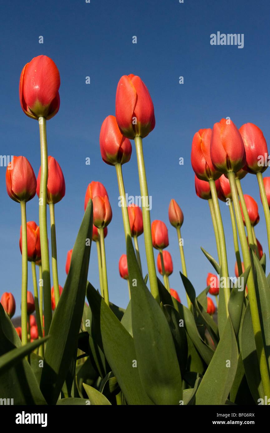 Tulips (Tulipa gesneriana), near Agassiz, British Columbia. - Stock Image