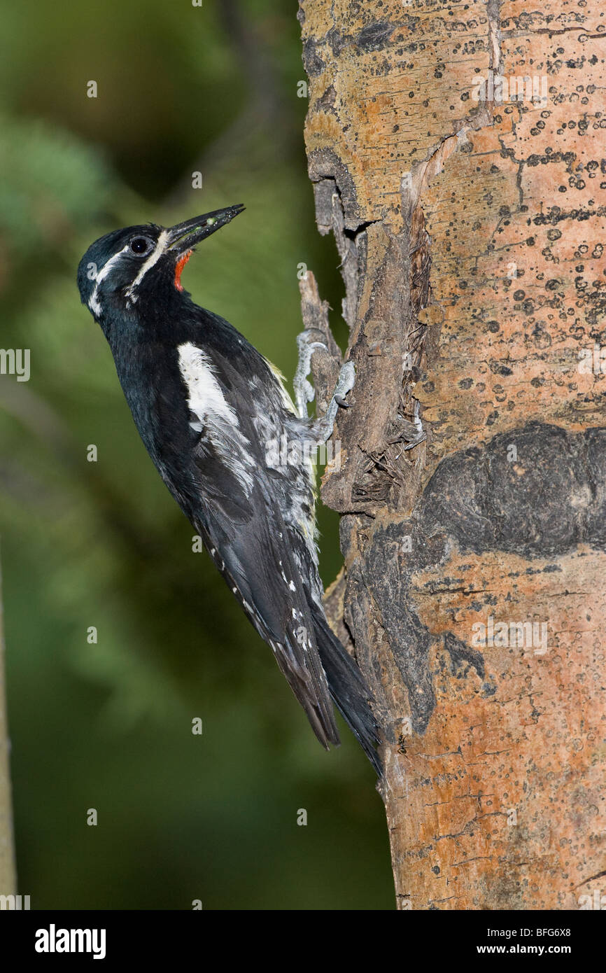 Williamson's sapsucker (Sphyrapicus thyroideus) male with insect larva at nest cavity Ponder Pond Picnic Ground - Stock Image