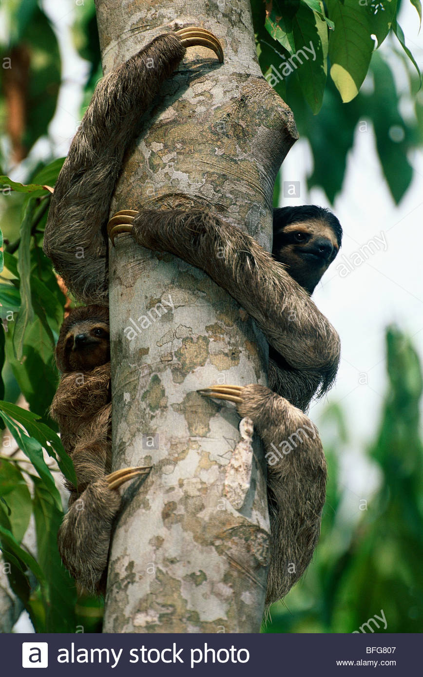 Brown-throat three-toed sloth with infant, Bradypus variegatus, and lantern beetle, Barro Colorado Island, Panama - Stock Image