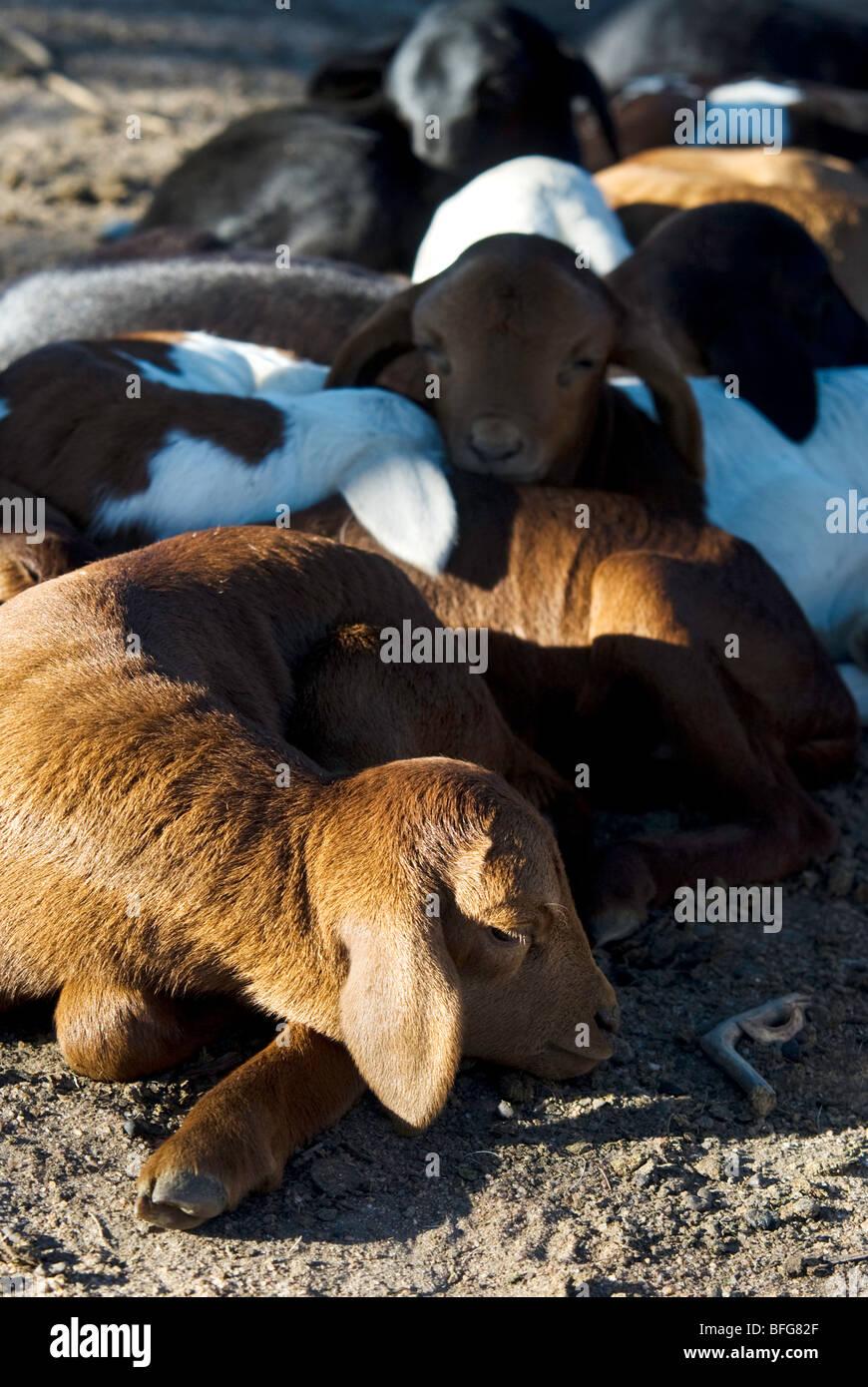 baby goats asleep - Stock Image