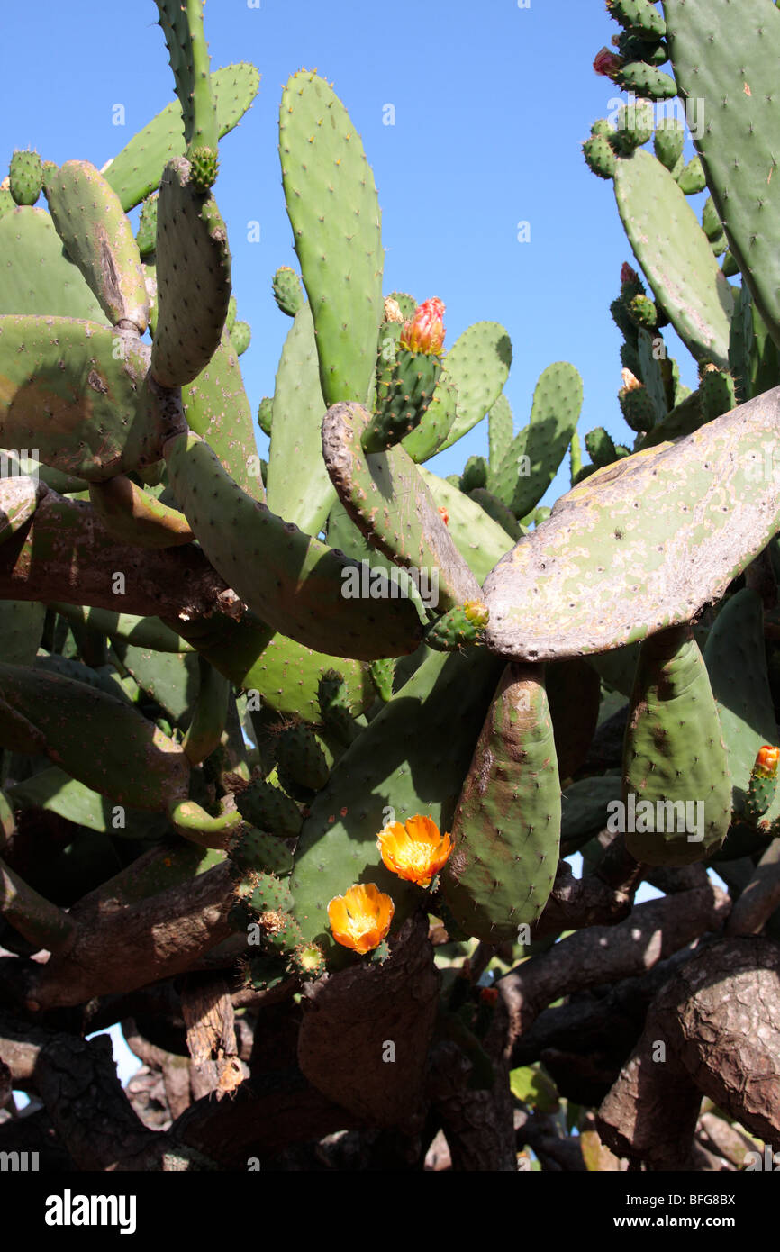 A prickly pear cactus on El Hierro Canary Islands Spain - Stock Image