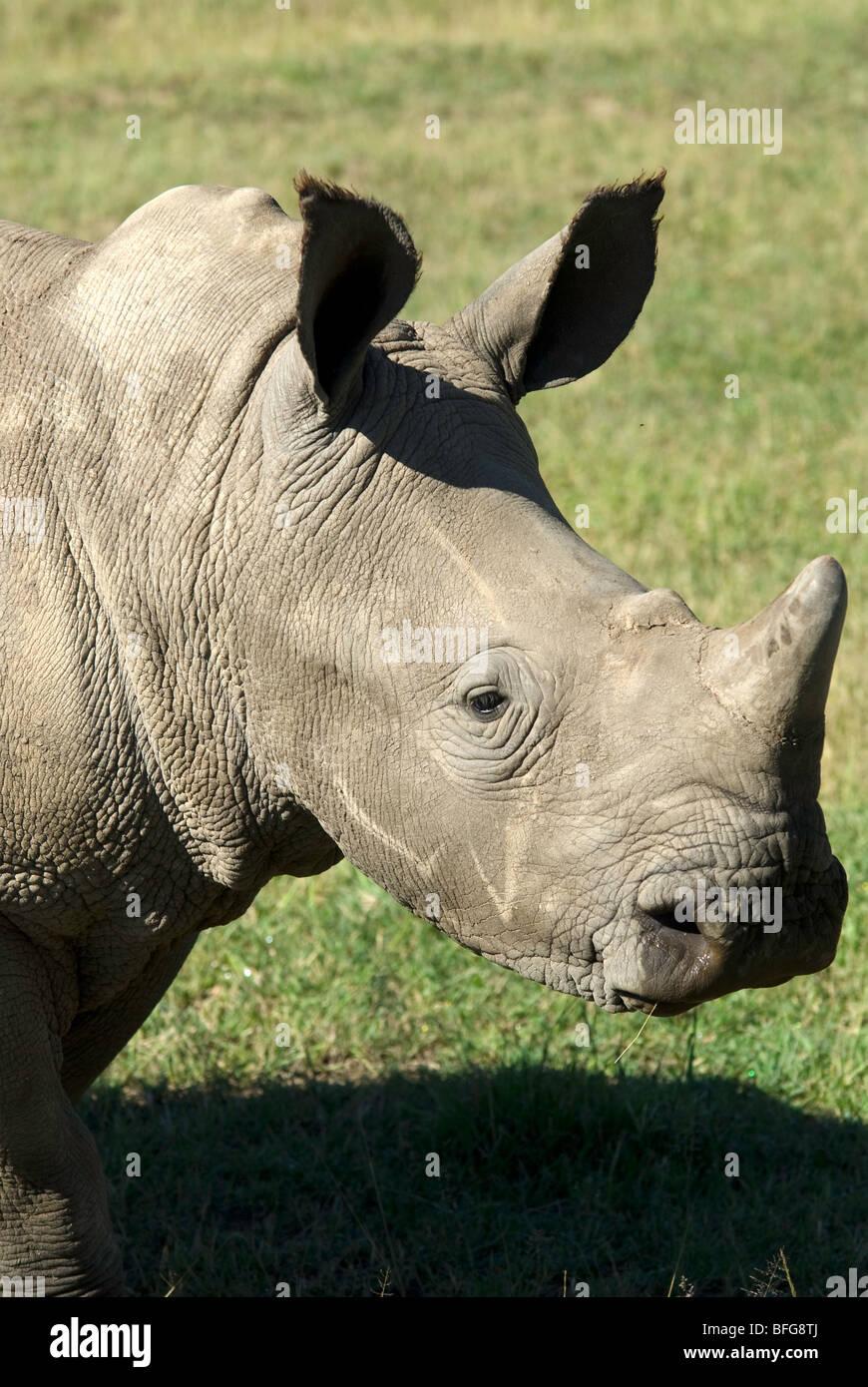 young white rhino - Stock Image