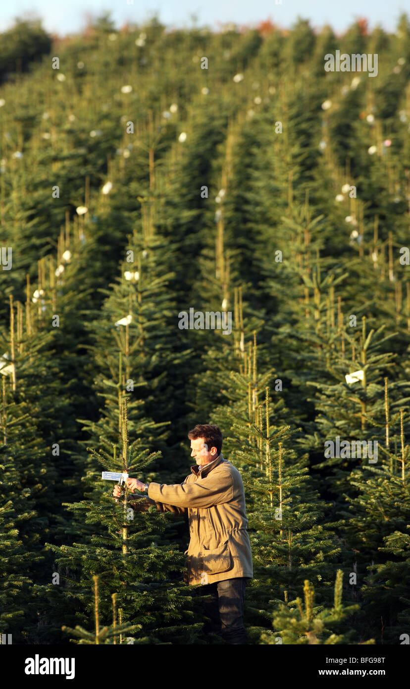 rows of nordman and noble fir trees growing on a farm in north east scotland ready - Christmas Tree Farms For Sale