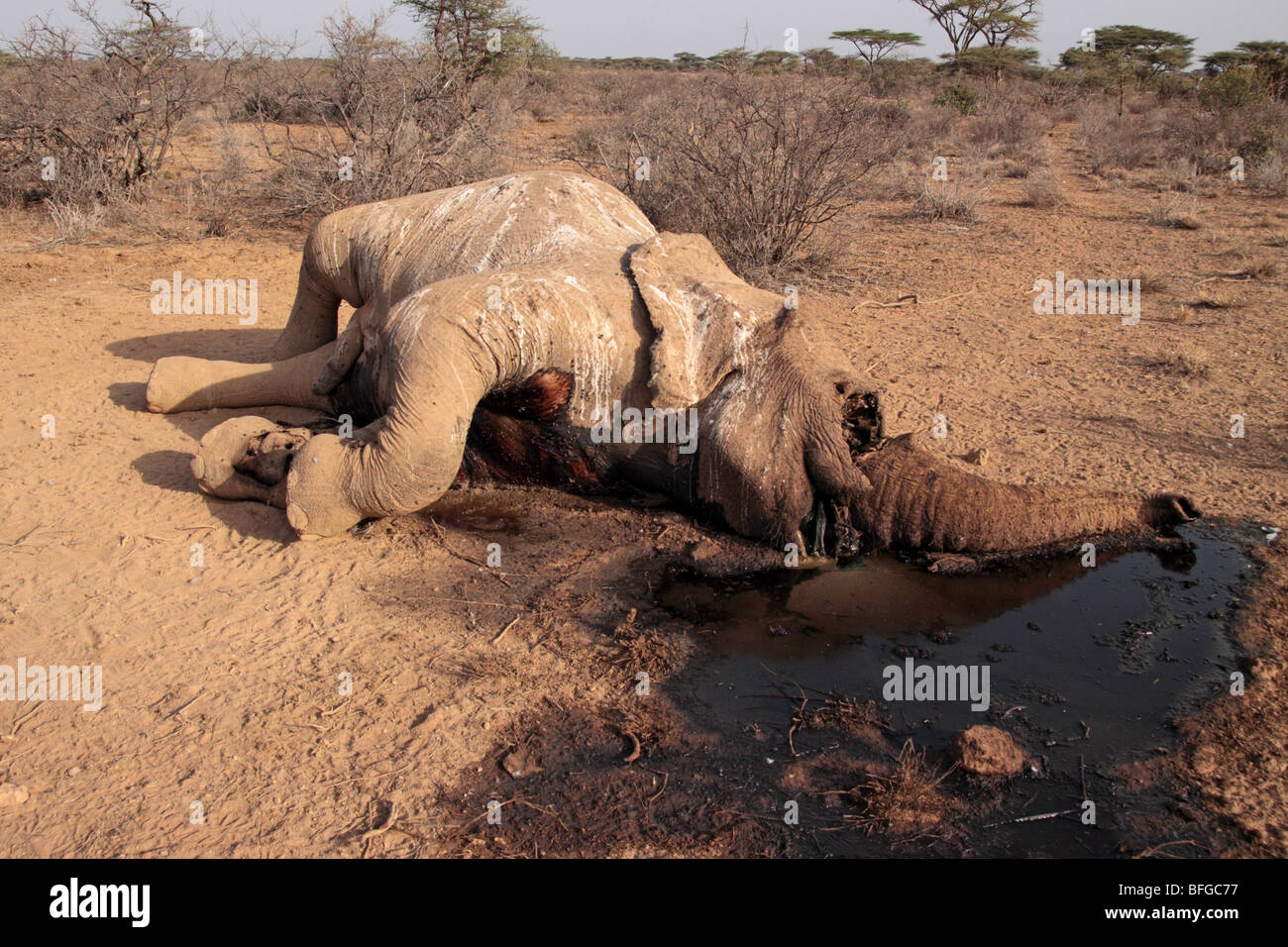 poached African elephant - Stock Image