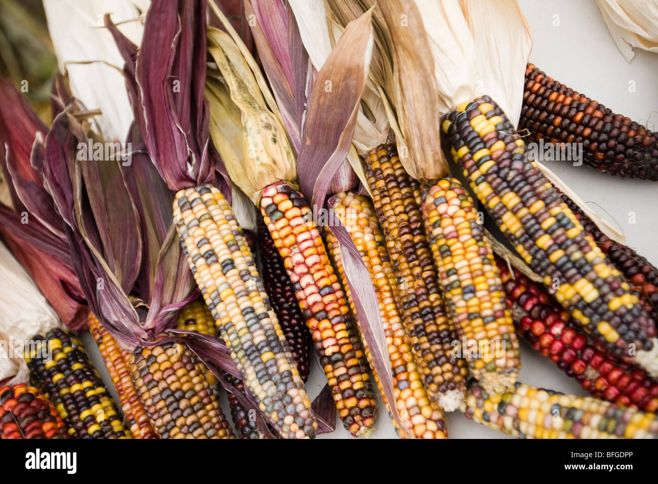 corn (ears of corn) - Stock Image