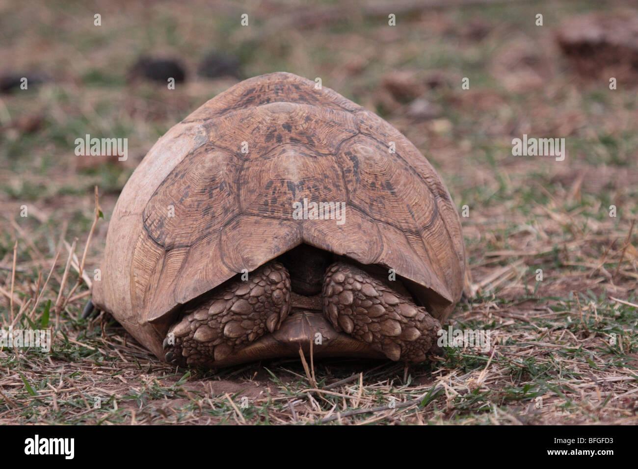 Leopard tortoise hiding - Stock Image