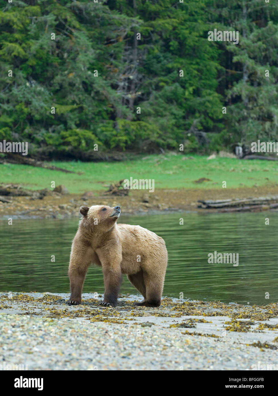 Female Grizzly Bear (Ursus arctos horribilis) sniffs air during mating season at Khutzeymateen Grizzly Bear Sanctuary - Stock Image