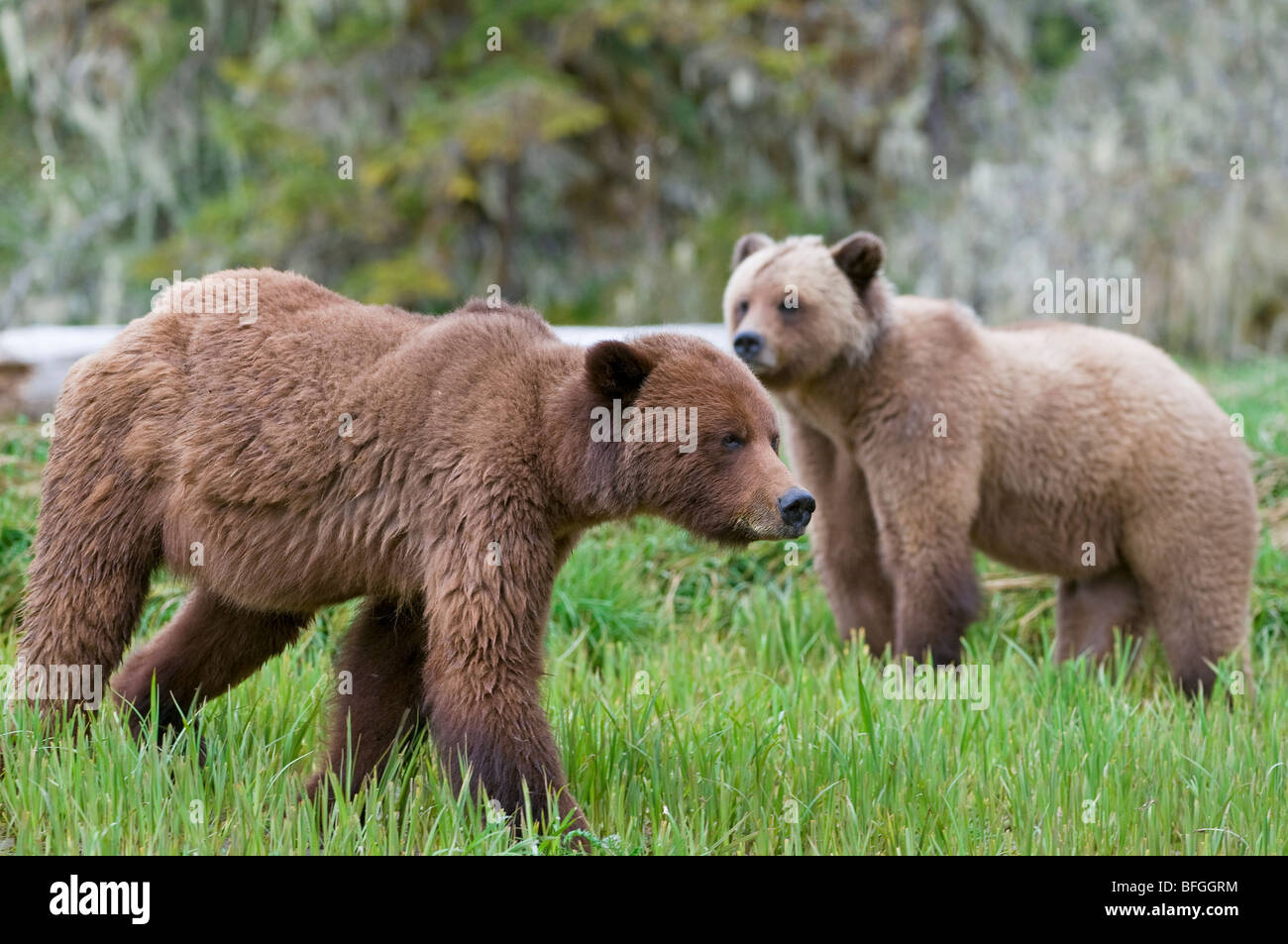 Male and female Grizzly Bear (Ursus arctos horribilis) during mating season at Khutzeymateen Grizzly Bear Sanctuary - Stock Image