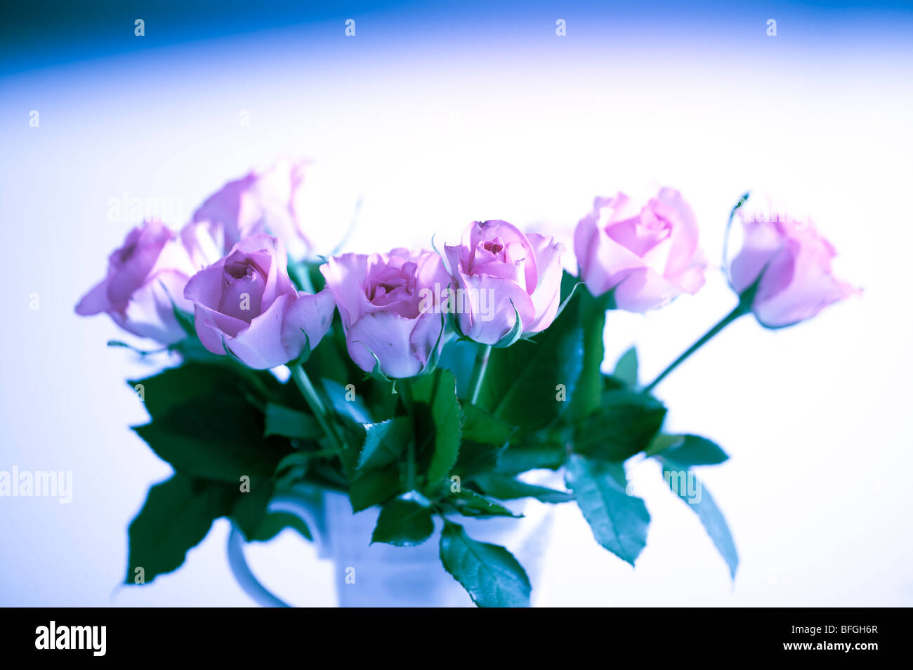 Pink Roses in Abstract against white background for card Stock Photo