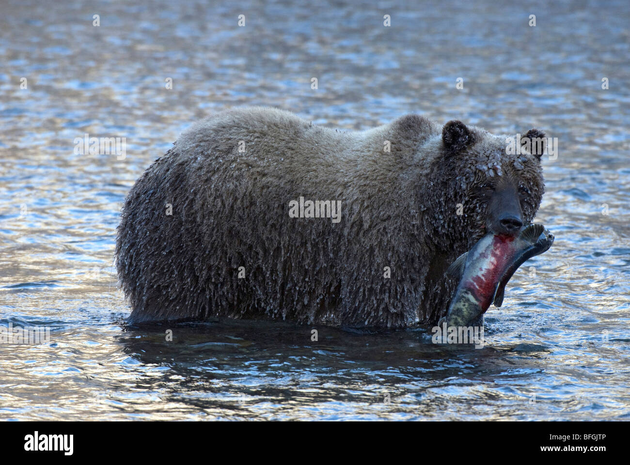 Wild Grizzly bear carrying chum or dog salmon in early winter in Fishing Branch River.  Fishing Branch Ni'iinlii'njik - Stock Image