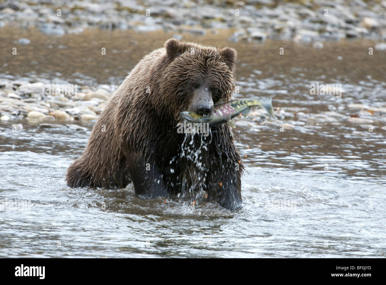 Wild Grizzly bear catching chum or dog salmon from Fishing Branch River in early winter. Fishing Branch Ni'iinlii'njik - Stock Image