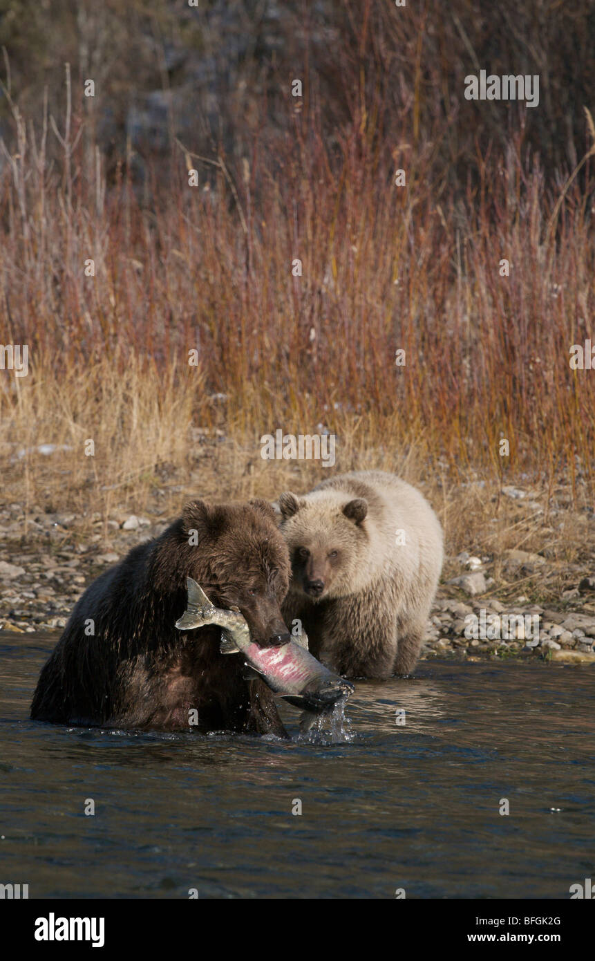 Grizzly BGrizzly Bear (Ursus arctos) Chum Salmon in her mouth Fishing Branch River Ni'iinlii Njik Ecological - Stock Image