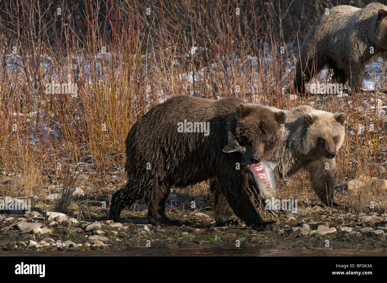 Grizzly Bear (Ursus arctos), Chum Salmon in her mouth, Fishing Branch River, Ni'iinlii Njik Ecological Reserve, - Stock Image