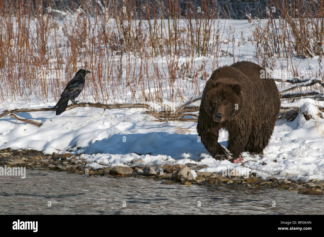 Grizzly Bear with Raven (Ursus arctos) along Fishing Branch River, Ni'iinlii Njik Ecological Reserve, Yukon - Stock Image