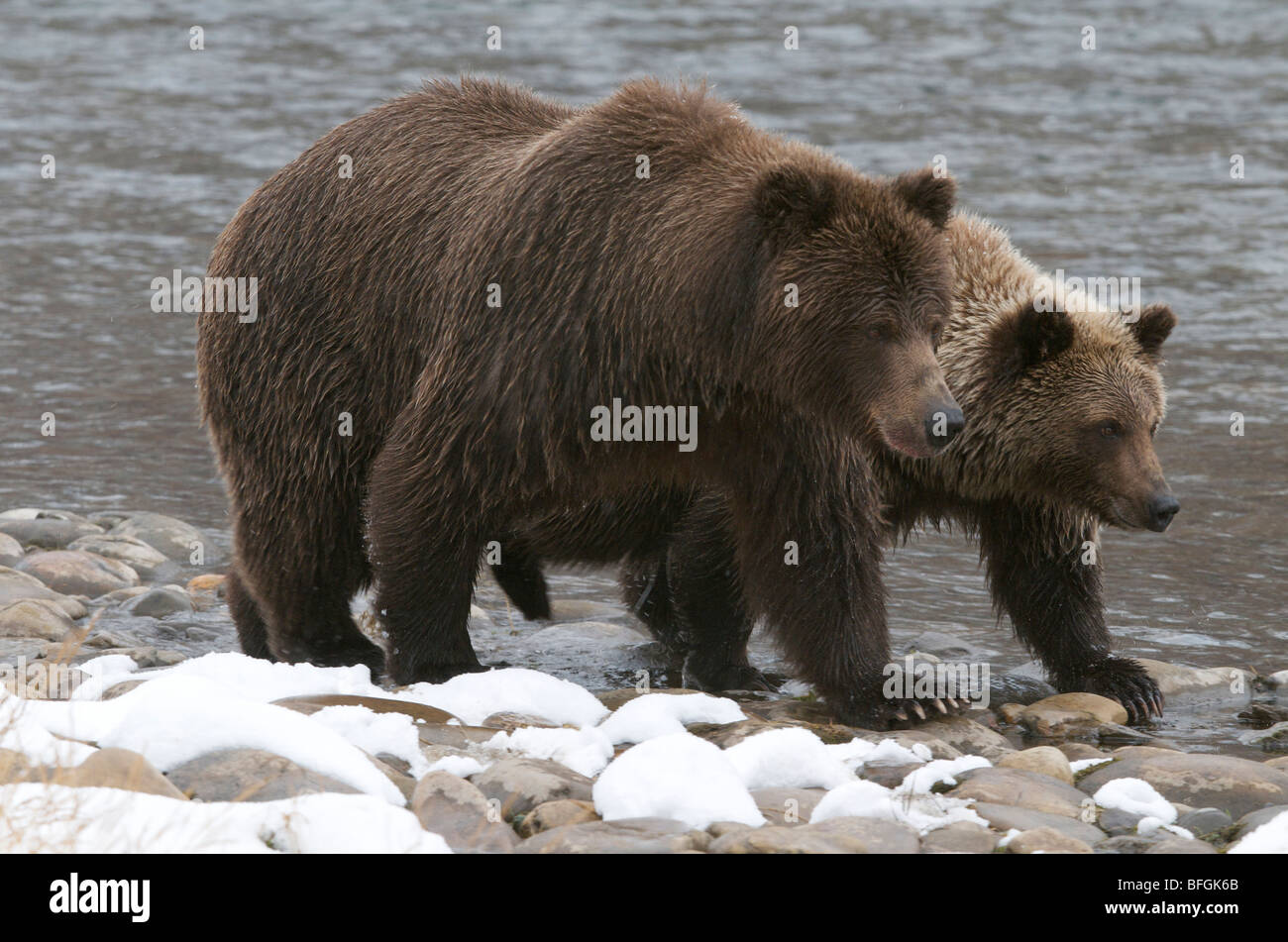Grizzly Bear and 2nd year cub (Ursus arctos) on Fishing Branch River, Ni'iinlii Njik Ecological Reserve, Yukon - Stock Image