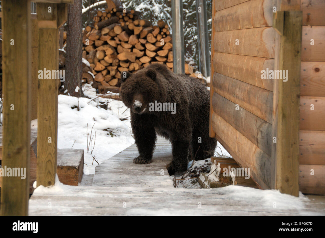 Grizzly Bear outside log cabin by Fishing Branch River, Ni'iinlii Njik Ecological Reserve, Yukon Territory, - Stock Image